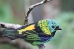 Green-headed Tanager, Itatiaia National Park