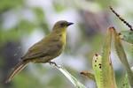 Olive-green Tanager, Itatiaia National Park