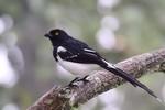 Magpie Tanager, Itatiaia National Park