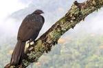 Dusky-legged Guan, Itatiaia National Park