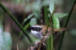 White-bibbed Antbird, Itatiaia National Park