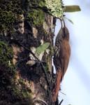 Scaled Woodcreeper, Itatiaia National Park