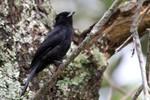 Velvety Black-tyrant, Itatiaia National Park