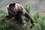 Brown Capuchin Monkey, Itatiaia National Park
