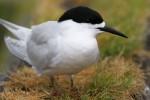 Black-fronted Tern 20171116 190