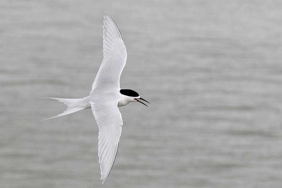 Black-fronted Tern 20171116 229