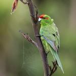 Red-crowned Parakeet 20171119 473