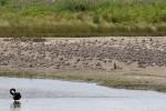 One Black Swan and a sandbar of Bar-tailed Godwits 20171120 11