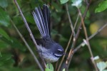 New Zealand Fantail 20171120 678