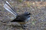 New Zealand Fantail 20171122 991