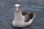 White-capped Albatross 20171129 708