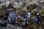 Fiordland Penguins 20171130 1258
