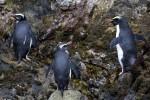 Fiordland Penguins 20171130 1281