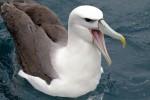 White-capped Albatross 20171130 1607