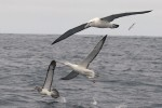 Salvin's, Southern Royal and White-capped Albatrosses 20171130 2005