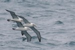White-capped Albatrosses 20171130 2477
