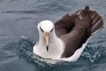 Campbell Albatross 20171130 2942