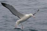 Southern Royal Albatross 20171130 3011