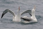 Southern Royal Albatrosses 20171130 3089