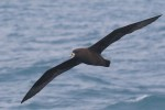 White-chinned Petrel 20171130 3187