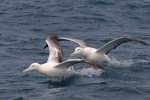 Southern Royal Albatrosses 20171130 3208