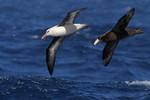 Black-browed Albatross, Giant Petrel