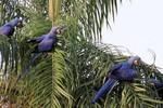 Hyacinth Macaws, Transpanateira Hwy 20140807 1293