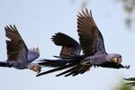 Hyacinth Macaws, Transpanateira Hwy 20140807 1303