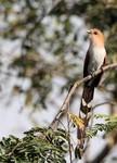 Squirrel Cuckoo, Cuiabá River 20140808 2686