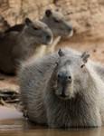 Capybaras, Cuiabá River 20140808 2791