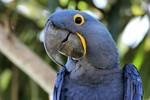 Hyacinth Macaw, Porto Jofre 20140809 1788