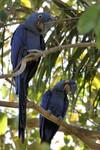 Hyacinth Macaws, Porto Jofre 20140809 1801