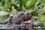 Giant River Otter, , Cuiabá River 20140809 3447