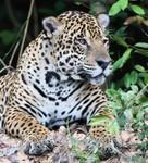 Jaguar, Cuiabá River DZ4T1561