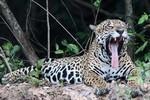 Jaguar, Cuiabá River DZ4T1587