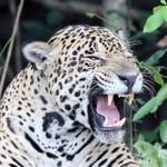 Jaguar, Cuiabá River DZ4T1589