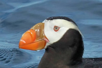 Highlight for Album: Monterey Bay Pelagics 2009