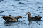 Black-footed Albatross, bill clacking, perhaps in hope of a meal from an adult
