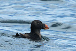 Tufted Puffin (juv.)