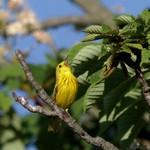 Yellow Warbler 2015-05-25 1265