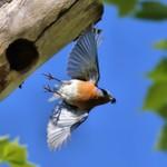 Eastern Bluebird 2015-05-25 1695
