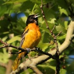 Baltimore Oriole 2015-05-25 995