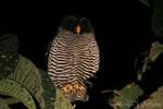 The San Isidro owl