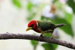 Red-headed Barbet, Alambi Reserve 20170902 1208