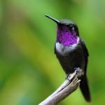 Purple-throated Woodstar, Alambi Reserve 20170902 1424