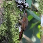 Ash-browed Spinetail, Casa Upano 20170907 140
