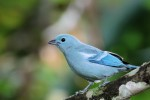 Blue-gray Tanager, Casa Upano 20170907 401