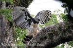 Harpy Eagle (adult female), photo by Galo Real, 20170909 1077