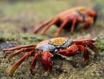 Sally Lightfoot crabs, Santa Cruz