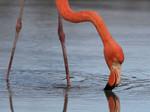 Greater Flamingo, Santa Cruz